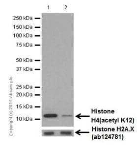 Western blot - Anti-Histone H4 (acetyl K12) antibody [EPR17906] (ab177793)