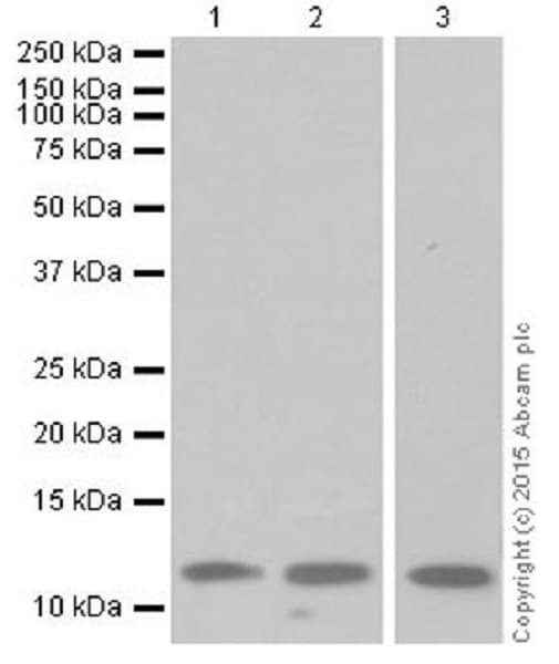 Western blot - Anti-Histone H4 (methyl R67) antibody [EPR18914] (ab177827)