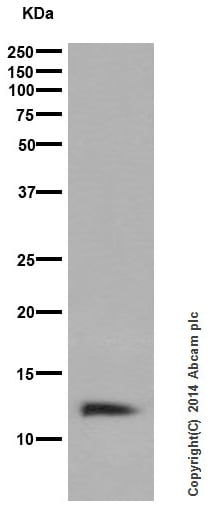Western blot - Anti-Histone H4 antibody [EPR16599] - ChIP Grade (ab177840)