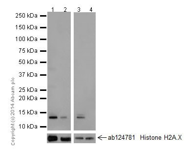 Western blot - Anti-Histone H2A.X (acetyl K5) + Histone H2A (acetyl K5) antibody [EPR17589] - ChIP Grade (ab177863)