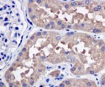 Immunohistochemistry (Formalin/PFA-fixed paraffin-embedded sections) - Anti-ADH5 antibody [EPR12885(B)] (ab177932)
