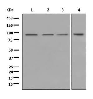Western blot - Anti-SFPQ antibody [EPR11846] (ab177936)