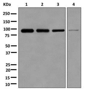Western blot - Anti-DDX27 antibody [EPR13146(B)] (ab177938)
