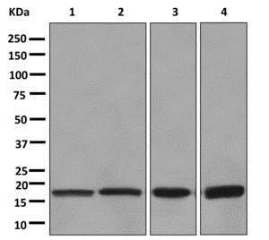 Western blot - Anti-eIF1A antibody [EPR12466(B)] (ab177939)
