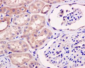 Immunohistochemistry (Formalin/PFA-fixed paraffin-embedded sections) - Anti-eIF1A antibody [EPR12466(B)] (ab177939)
