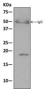 Immunoprecipitation - Anti-eIF1A antibody [EPR12466(B)] (ab177939)