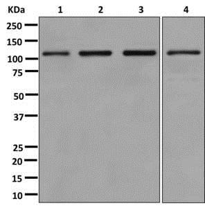 Western blot - Anti-OGT / O-Linked N-Acetylglucosamine Transferase antibody [EPR12713] (ab177941)