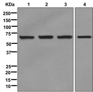 Western blot - Anti-IMP3 antibody [EPR12022] (ab177942)