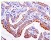 Immunohistochemistry (Formalin/PFA-fixed paraffin-embedded sections) - Anti-Moesin (phospho T558) antibody [EPR2371(2)] (ab177943)