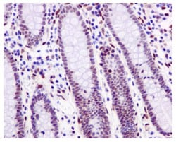Immunohistochemistry (Formalin/PFA-fixed paraffin-embedded sections) - Anti-SSBP2 antibody [EPR11520] (ab177944)