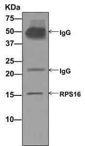 Immunoprecipitation - Anti-RPS16 antibody [EPR11755] (ab177951)
