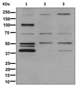 Western blot - Anti-Nogo antibody [EPR12266] (ab177953)