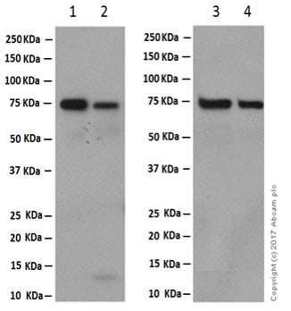 Western blot - Anti-hnRNP M1-M4 antibody [EPR13509(B)] (ab177957)