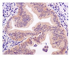 Immunohistochemistry (Formalin/PFA-fixed paraffin-embedded sections) - Anti-BRCC45/BRE antibody [EPR11858] (ab177960)