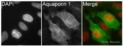 Immunocytochemistry/ Immunofluorescence - Anti-Aquaporin 1 antibody [EPR11588(B)] - BSA and Azide free (ab178352)
