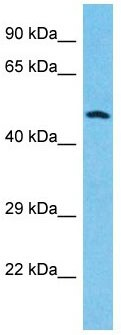 Western blot - Anti-Granulin antibody (ab178354)