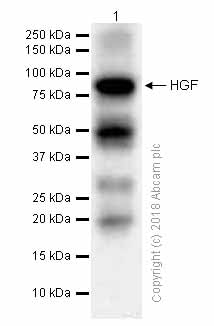 Western blot - Anti-HGF antibody [EPR12230] (ab178395)
