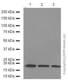 Western blot - Anti-Cyclophilin B antibody [EPR12703(B)] - Loading Control (ab178397)