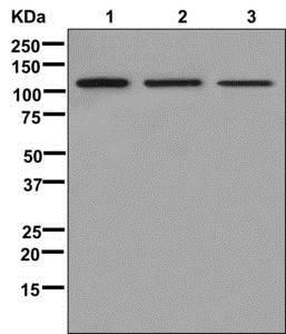 Western blot - Anti-Nup107 antibody [EPR12242] (ab178399)