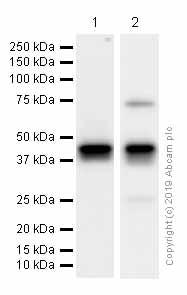 Western blot - Anti-Islet 1 antibody [EPR10362] (ab178400)