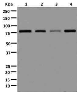 Western blot - Anti-Mkln1 antibody [EPR13519] (ab178403)
