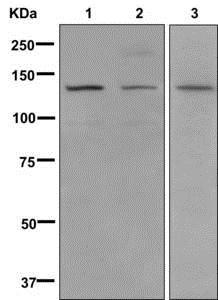 Western blot - Anti-valyl tRNA synthetase antibody [EP11299] (ab178404)