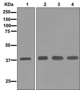 Western blot - Anti-Synaptophysin antibody [EPR1097-2] (ab178412)