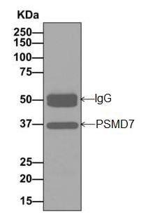 Immunoprecipitation - Anti-PSMD7/Mov34 antibody [EPR13516(B)] (ab178417)