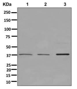 Western blot - Anti-PSMD7/Mov34 antibody [EPR13516(B)] (ab178417)