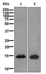 Western blot - Anti-Histone H2B (testis specific) antibody [EPR12881] (ab178426)