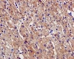 Immunohistochemistry (Formalin/PFA-fixed paraffin-embedded sections) - Anti-PAH antibody [EPR12380] (ab178430)