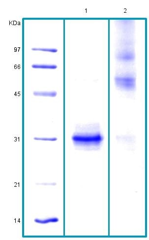 SDS-PAGE - Recombinant Human ANGPTL2/ARP2 protein (BSA and azide free) (ab178461)