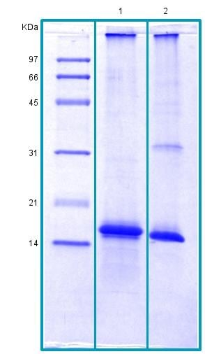 SDS-PAGE - Recombinant Human Tmem27 protein (BSA and azide free) (ab178462)