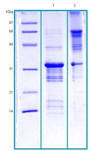 SDS-PAGE - Recombinant Human Prohibitin protein (BSA and azide free) (ab178465)