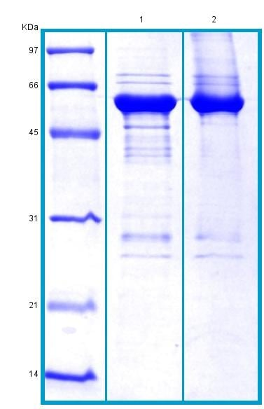 SDS-PAGE - Recombinant Human PKM2 protein (BSA and azide free) (ab178466)