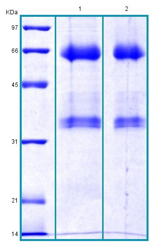 SDS-PAGE - Recombinant Human ANGPTL3 protein (BSA and azide free) (ab178471)