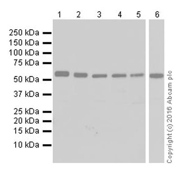 Western blot - Anti-SESN2/Sestrin-2 antibody [EPR18907] (ab178518)