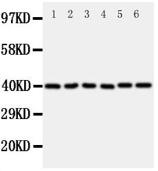 Western blot - Anti-WISP1 antibody - C-terminal (ab178547)
