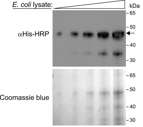 Western blot - HRP Anti-6X His tag® antibody [AD1.1.10] (ab178563)