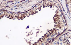 Immunohistochemistry (Formalin/PFA-fixed paraffin-embedded sections) - Anti-Annexin-2/ANXA2 antibody [EPR13052(B)] (ab178677)