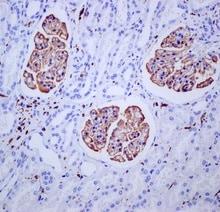 Immunohistochemistry (Formalin/PFA-fixed paraffin-embedded sections) - Anti-Iba1 antibody [EPR6136(2)] (ab178680)