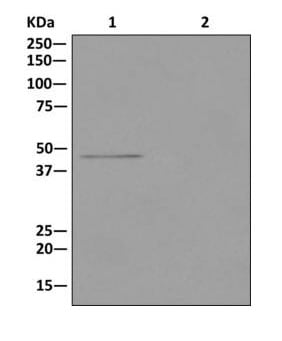 Immunoprecipitation - Anti-PSMC5 antibody [EPR13565(B)] (ab178681)
