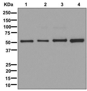 Western blot - Anti-AAMP antibody [EPR12369] (ab178691)