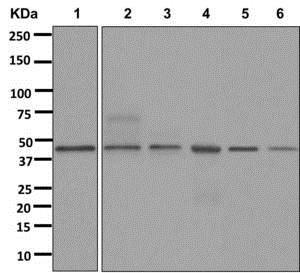 Western blot - Anti-Renalase antibody [EPR4212(2)] (ab178700)