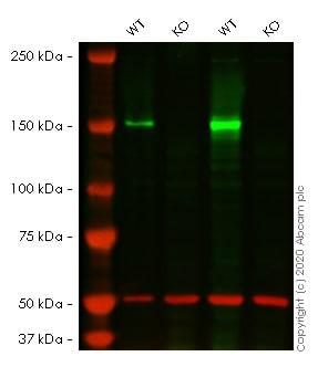 Western blot - Anti-FANCD2 antibody [EPR2279(3)] (ab178705)