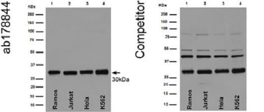 Western blot - Anti-Bcl-XL antibody [EPR16642] (ab178844)