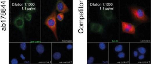Immunocytochemistry/ Immunofluorescence - Anti-Bcl-XL antibody [EPR16642] (ab178844)