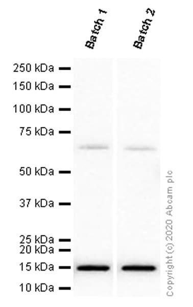 Western blot - Anti-Iba1 antibody [EPR16588] (ab178846)