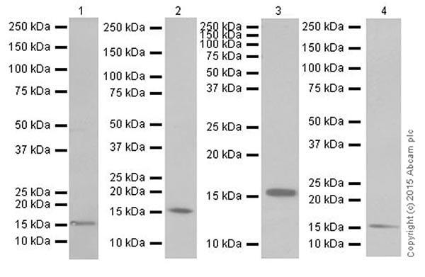 Western blot - Anti-Iba1 antibody [EPR16589] (ab178847)