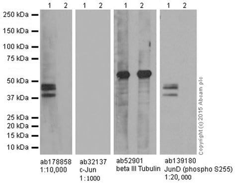 Western blot - Anti-JunD (phospho S100) + c-Jun (phospho S73) antibody [EPR16586] (ab178858)